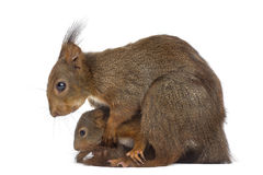 Mother Red squirrel and babies Stock Images