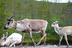 Reindeer family stock photography
