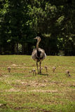 Mother Rhea with flock of baby chicks Royalty Free Stock Photo