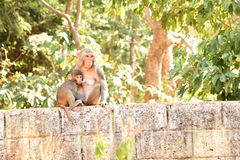 Mother Rhesus macaque monkey feeding baby Stock Photography