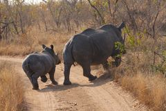 Mother rhino with baby. Crossing the road royalty free stock photos