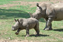 Mother rhino baby rhinoceros  Royalty Free Stock Photography