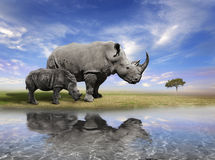 Mother Rhino With Calf. Mother Rhino And A Calf With Water Reflection Royalty Free Stock Photography