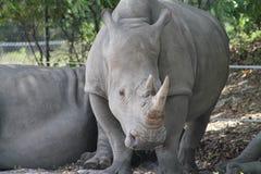 Mother rhino Royalty Free Stock Photos