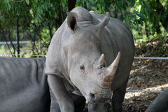Mother rhino Royalty Free Stock Image
