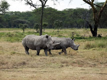 Mother Rhinoceros and Young Royalty Free Stock Photo
