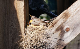 Mother Robin and Babies. A family of robins in a nest Stock Photos