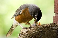 Mother Robin Feeding Babies. Mother Robin feeding her babies worms, copy space selective focus Royalty Free Stock Image