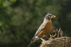 Mother Robin Feeding Babies Worms. A mother Robin feeding her babies worms, shallow depth of field with selective focus, horizontal with lots of copy space royalty free stock photos