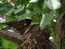 Mother robin guards her nest stock photography