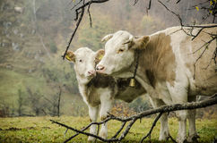 A mother's affection. A mother-cow and her calf in a moment of affection, Bran, Romania Royalty Free Stock Photos