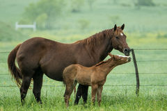 Mother`s affection. Mare and her colt displaying love and affection Royalty Free Stock Photos