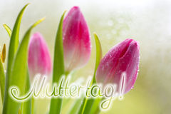 Mother's Day card. Colorful fresh spring tulips flowers with dew drops.Mother's Day card Stock Photography