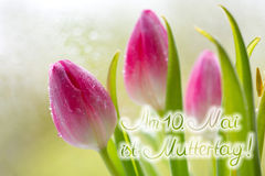 Mother's Day card. Colorful fresh spring tulips flowers with dew drops.Mother's Day card Stock Image