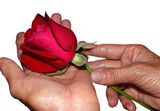 Mother's hands with rose- Happy mothers day Stock Images