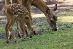 Mother's love, deer and cute fawn Stock Images