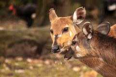 Mother's love, deer and cute fawn Royalty Free Stock Photo