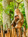 Mother's love. A Japanese mother monkey breast feeds her sleeping baby monkey on bamboo fence Stock Photo