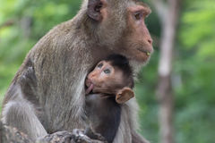 Mother's love. Monkeys of mother-child love in a natural forest of Thailand Royalty Free Stock Images