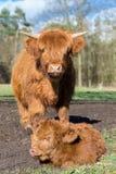 Mother scottish highlander cow standing near newborn calf Stock Photo