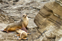 Mother Sea Lion & Her Pup. In the Galapagos Islands royalty free stock photography