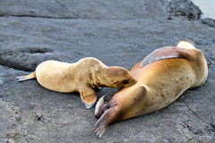 Mother Sea Lion & Her Pup Stock Photo