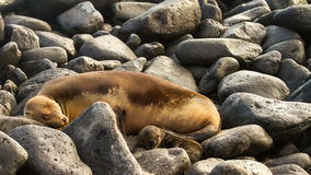 Mother sea lion and her pup. Stock Photography