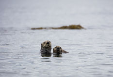 Mother sea otter and her pup Royalty Free Stock Image
