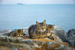 Mother on the sea rocks family of Cats and Kittens Stock Image