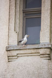 Mother Seagull. A mother seagull guarding her nest on the Yaquina Head Lighthouse window sill royalty free stock photo