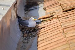 Free Mother Seagull On The Nest 2 Stock Photography - 115865992