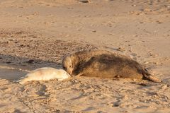 Mother seal and baby seal pup waking on beach. Large female seal nose to nose with baby seal pup on the beach in the UK at sun rise. Horsey Gap in Norfolk Stock Photos