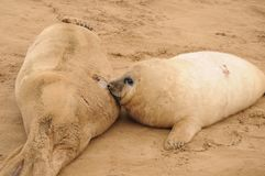Mother seal and hungry pup Royalty Free Stock Photo