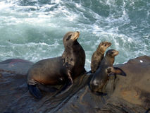 Mother seal and pups. On the cliffs of La Jolla Stock Image