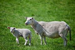 Mother Sheep. A mother sheep, a ewe, with her lamb in a green pasture royalty free stock photos
