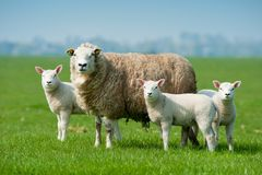 Mother Sheep And Her Lambs In Spring Royalty Free Stock Photos