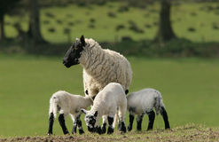 Mother Sheep And Triplets Royalty Free Stock Image