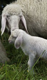 Mother sheep and baby lamb. Mother sheep with baby lamb in meadow Stock Image