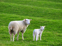 Mother Sheep and Baby Lamb. In a field royalty free stock image