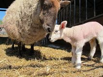 Mother Sheep and Baby Lamb. A mother sheep nuzzles her baby lamb Royalty Free Stock Image