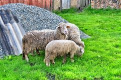 Mother Sheep and Baby Lamb Stock Images