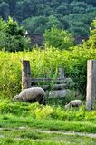 Mother Sheep and Baby Lamb Royalty Free Stock Image