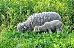 Mother Sheep and Baby Lamb Royalty Free Stock Images