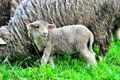 Mother Sheep and Baby Lamb. In a field stock photography