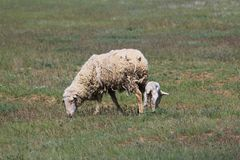 Mother sheep with baby lamb on the green field. Mother sheep with baby lamb on the green meadow in spring Royalty Free Stock Photos