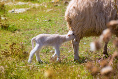 Mother sheep and baby lamb nursing in a field Stock Photo