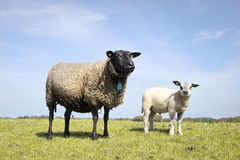 Mother sheep with baby lamb standing in the field. Black and white sheep standing in the field Stock Image