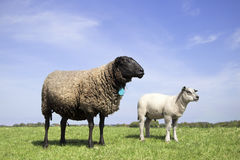 Mother sheep and baby lamb standing in the field on a sunny day. Two cute sheep standing in the field Stock Images