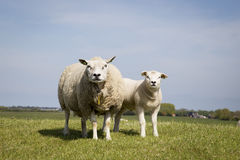 Mother sheep and baby lamb standing in the field in sunny weathe Stock Photo