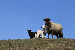 Mother Sheep: Black and White Lambs. A brown sheep with 2 lambs: one white and the future of the black sheep Stock Photos